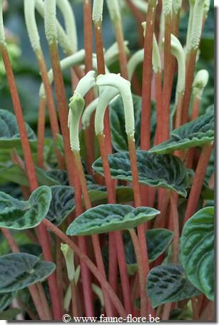 photos450/peperomia_caperata_lilian_fruit.jpg