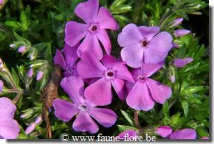 photos450/phlox_subulata_mcdaniel_s_cushion_detail.jpg
