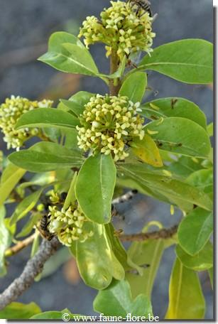 Pittosporum viridiflorum