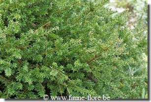 Podocarpus lawrencii red tip
