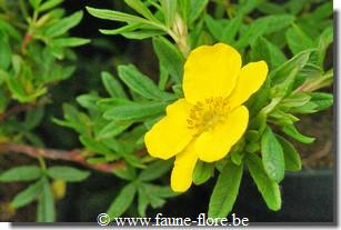 photos450/potentilla_fruticosa_goldfinger_detail.jpg