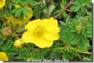 photos450/potentilla_fruticosa_goldfinger_feuille.jpg