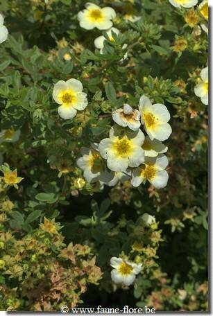 Potentilla fruticosa Limelight