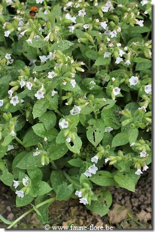 Pulmonaria officinalis White Wings