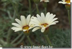 Rhodanthemum catananche