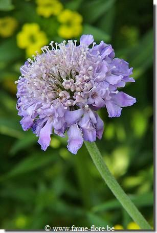 photos450/scabiosa_columbaria_butterfly_blue_fruit.jpg