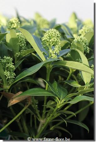 photos450/skimmia_japonica_fragrant_cloud_feuille.jpg