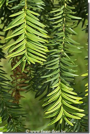 photos450/taxus_baccata_dovastoniana_feuille.jpg