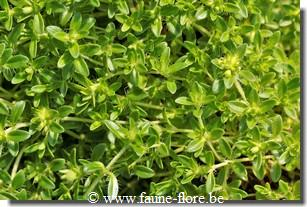 photos450/thymus_minor_albiflorus_feuille.jpg
