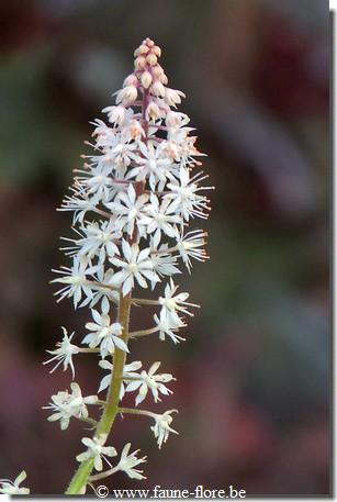 Tiarella Crow Feather