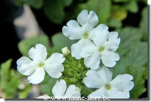 Verbena sun cream white